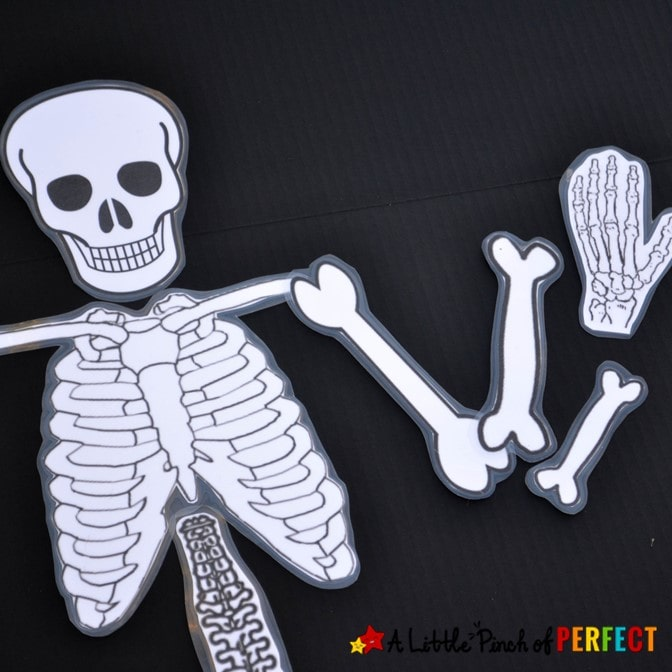 It is a graphic of Printable Human Skeleton to Assemble for paper
