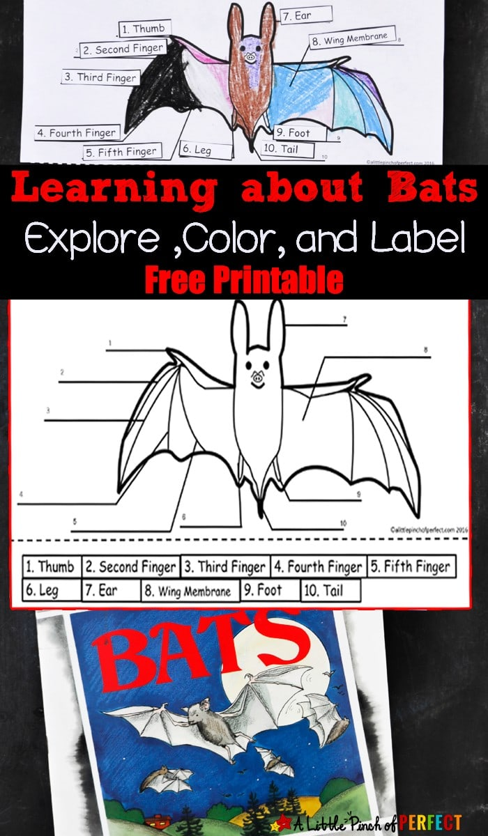 Learning about Bats: Explore ,Color, and Label Free Printable--Take a closer look at bats with the kids with our latest Color and Label Printable, bat books, and educational video. (Nocturnal animals, fall, Halloween, science)