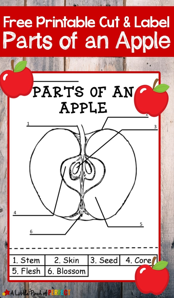 Learning About Apples: Color and Label Free Printable-Children can Color, Cut, and Label the parts of an apple with this free printable science activity.It's perfect to add to your fall activities or anytime your children want to learn about apples. The printable comes in two versions with numbered labels for students who can't read yet and an unnumbered version so students can practice their reading skills while working on the activity.