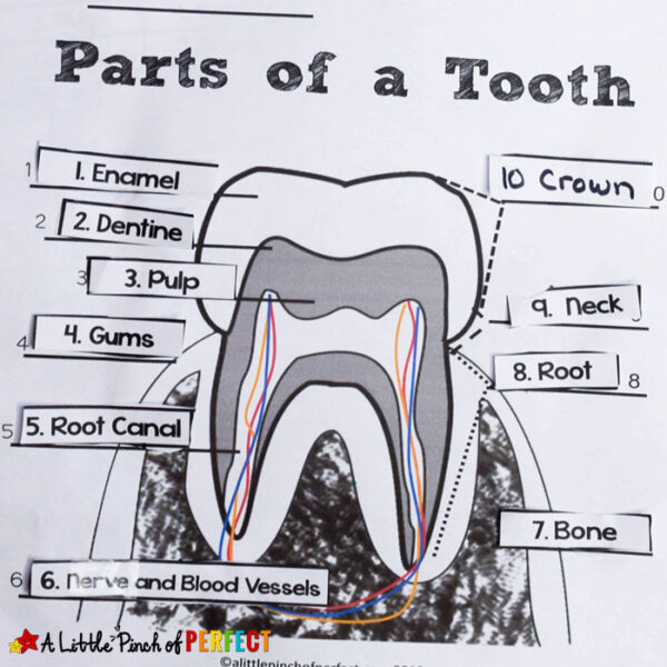 Learning about Teeth: Color and Label Free Printable