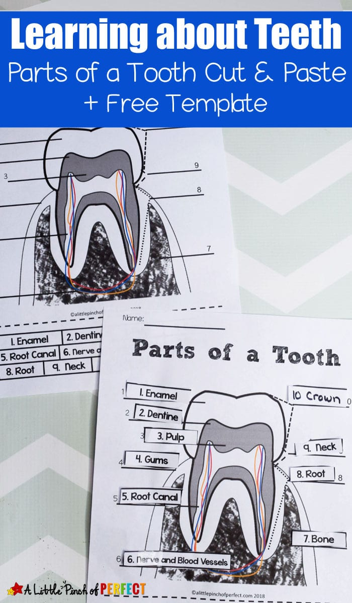 Learning about Teeth: Color and Label Free Printable. Perfect for learning about oral hygeine (#kidsactivity #printable #homeschool #firstgrade #kindergarten #preschool)